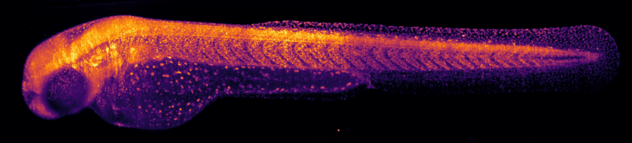 Light sheet microscopy gives amazing images of living organisms and of time sequences of growth processes. Zebrafish recorded by Alyssa Graves with Flamingo #1. (Image: Morgridge Institute for Research, Madison, WI)