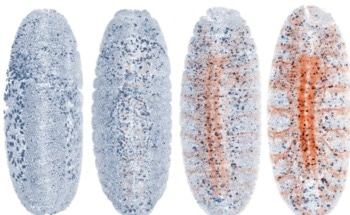 Researchers Develop Self-Driving Microscope for Adaptive Live Imaging of Large Living Organisms